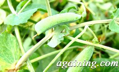 Фото: Рецепт консервування зеленого горошку